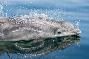 Bottlenose Dolphin by Charlie Phillips