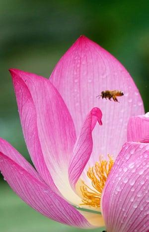 A bee flies among lotus flowers at Pingzhai village, Machang township in Pingba county, China's Guizhou Province