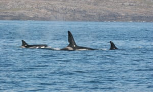 Orca whales spotted on the Hebridean Whale Trail, UK.