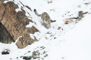 Some 33% didn't know the snow leopard was endangered.