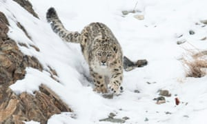 Snow leopard in India
