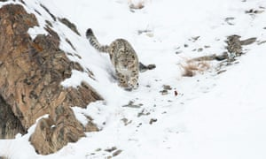 A snow leopard in Hemas national park, Ladakh, India