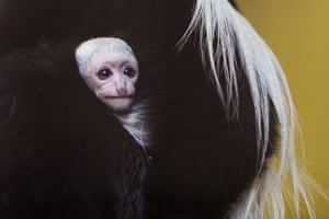 One of the monkeys at Nyíregyháza animal park, a female mantled guereza, holds its four-day-old baby