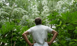 Derek Niemann stands beneath giant hogweed, looking suitably awed.