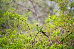 A ring-necked parakeet, Psittacula krameria, in central London, where the species has become well established