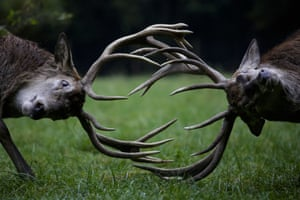 Red deer fight during rutting season at a wildlife park in Bonn, Germany