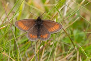 Climate change is thought to be responsible for the range contraction of the mountain ringlet butterfly: its range has shifted uphill by 150m in response to warmer temperatures