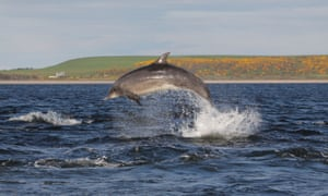 Bottlenose Dolphin (Tursiops truncatus) leaping in the Moray Firth, Chanonry Point, Scotland, UK.