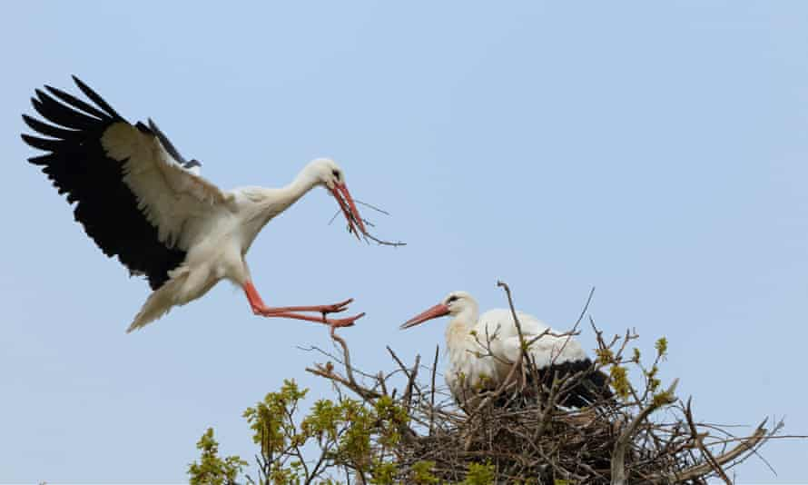 Male white stork joins his mate in their nest on top of an oak tree at Knepp estate, in Sussex.