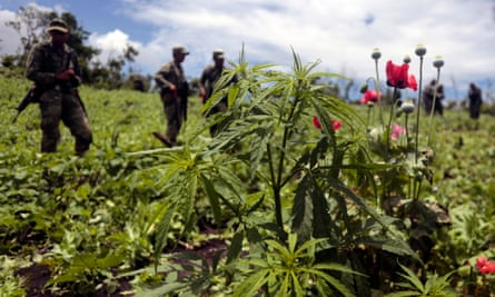 Mexican soldiers stand amid poppy flowers and marijuana plants in Guerrero state.