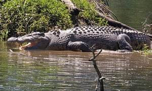 A four-metre saltwater crocodile in far north Queensland