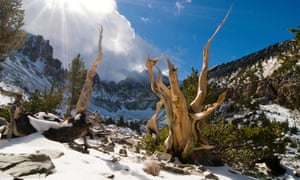 Rays of sun penetrate the clouds illuminating several bristlecone pine trees in the Wheeler Peak Grove in Great Basin National Park, Nevada