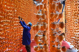 Fuping, China. Villagers harvest persimmons to be made into dried snacks. The industry has helped local people boost their income