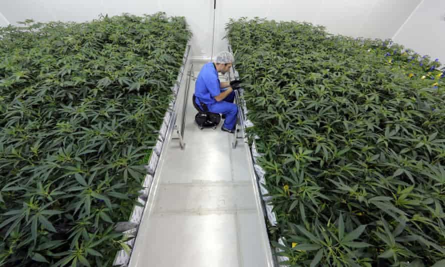 Medical marijuana being grown in Baton Rouge, Louisiana.