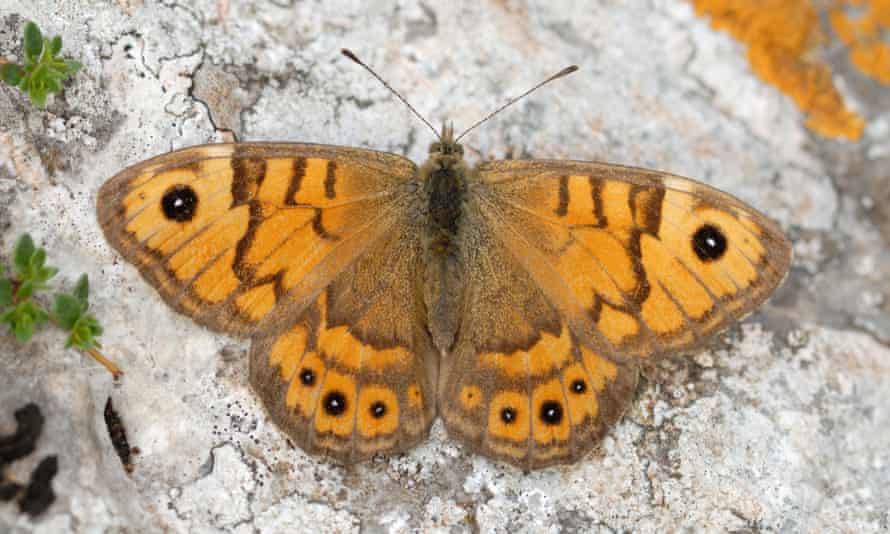 The wall brown butterfly, now in steep decline, has been seen in abundance this summer.