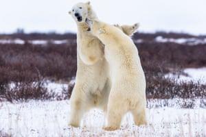 Polar bears enjoy a harmless scrap in the snow in Hudson bay, Canada