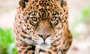 Male jaguar in stalking pose.