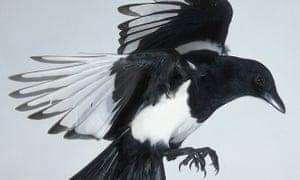 One for sorrow, two for joy: a magical magpie in flight. Salute to send it on its way.