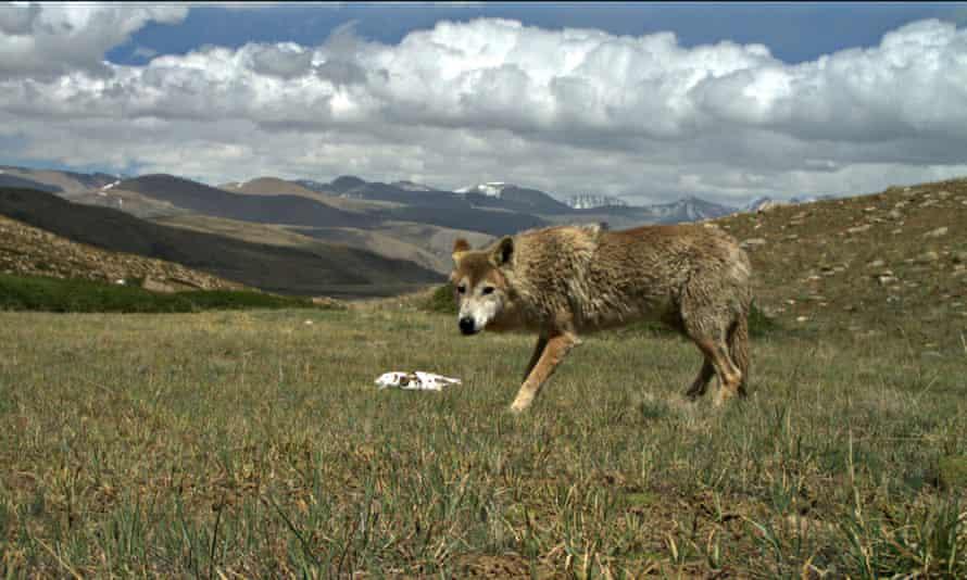 A Himalayan wolf