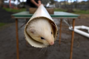Scobie, a champion ferret, trains in drain pipes for the upcoming annual ferret race at the Daffodil and Arts festival in Kyneton