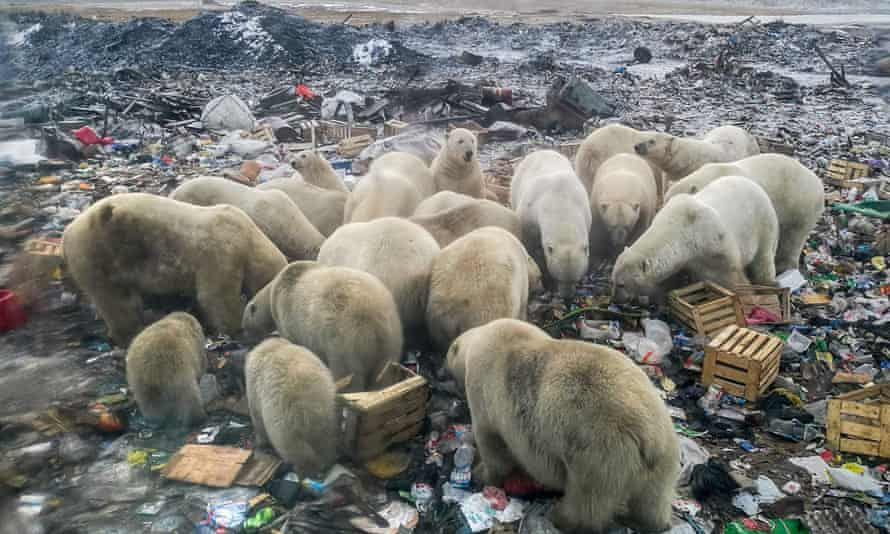Melting Arctic ice forces animals to search for food on land, such as these polar bears in northern Russia.