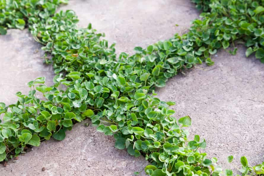 A shade-friendly dichondra growing between pavers.