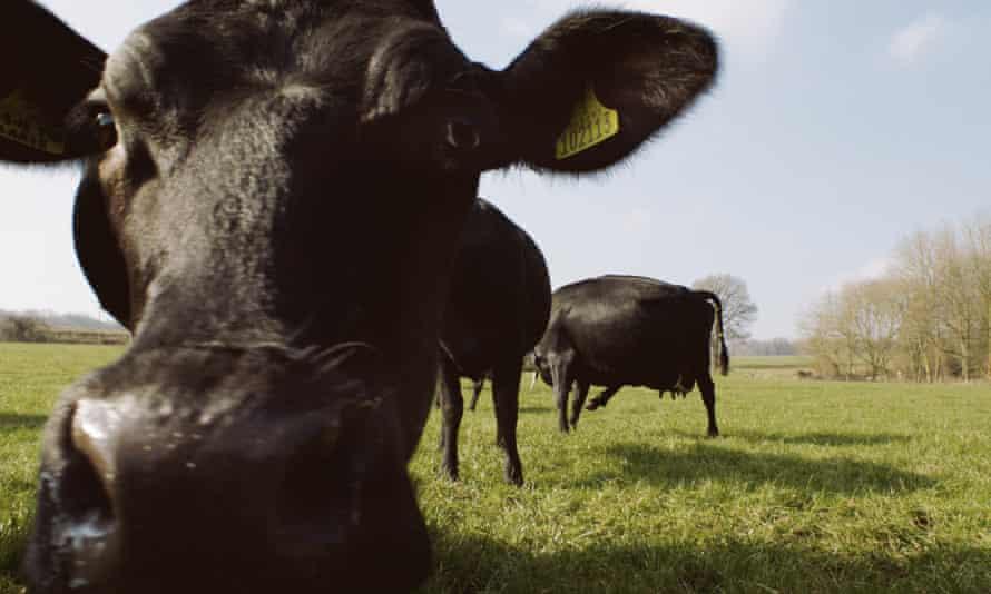 Waitrose cow ad