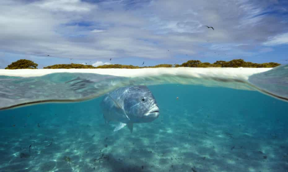 A giant trevally patrols the shallows of a lagoon in the Indian Ocean, waiting for fledgling birds to leap at as they fly overhead.