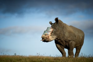 Image by Adrian Steirn @AdrianSteirn. 'This was Hope, a four-year-old South African female white rhino who was attacked by poachers in 2015. She'd been darted with tranquillising drugs and her horn was hacked off, she was then left for dead. Against all odds, she survived. ... despite all efforts taken to ensure Hope was able to live a normal life, she succumbed to a bacterial infection in late 2016 after enduring several gruelling operations. Hope's story may have ended, but her legacy lives on, and she has given new energy to those fighting to save this beautiful species.'