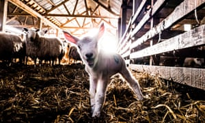 A lamb on a farm