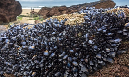 Blue or common mussels in Cornwall