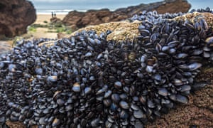 Blue or common mussels on rocks in Cornwall.