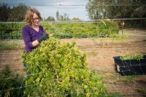 A cannabis harvest at East Fork Cultivars, Oregon.