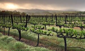 Sangiovese grape vines.