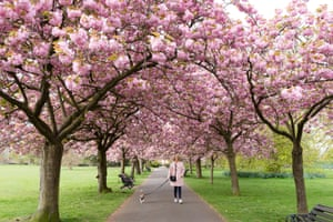 Paula Pearson and her jack russell dog, Nelson enjoy the cherry blossom in Greenwich Park, in south east London