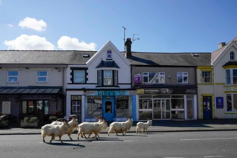 Goats run wild in deserted Llandudno, Wales