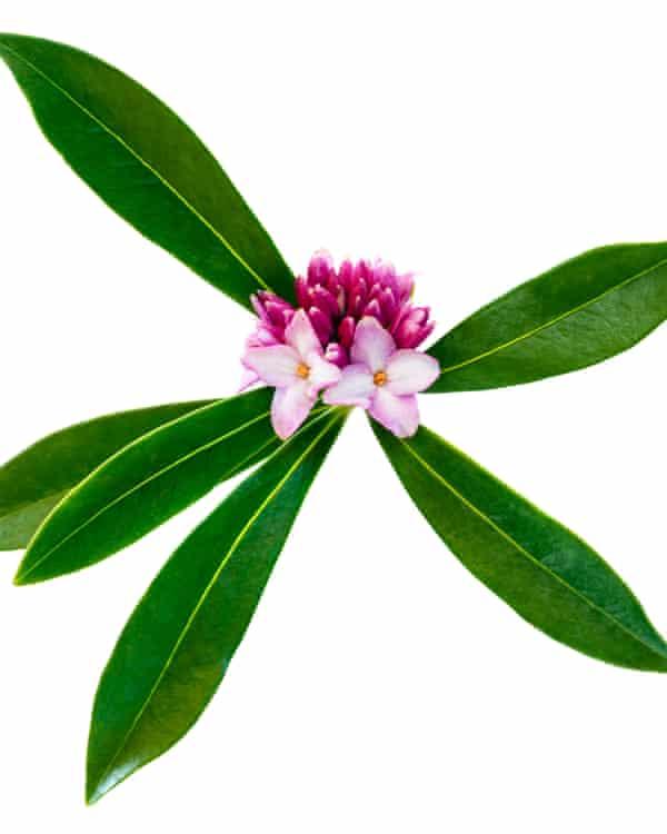 'A richly sweet vanilla-meets-rose fragrance': Daphne.