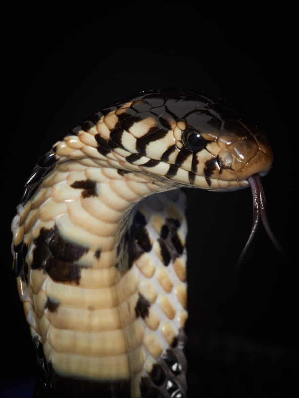 A forest cobra