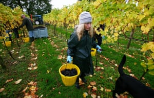 Grape-pickers collect pinot noir grapes at Chapel Down.