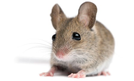 'Never in a hurry to reach the hunk of cheese' … the intelligent mouse