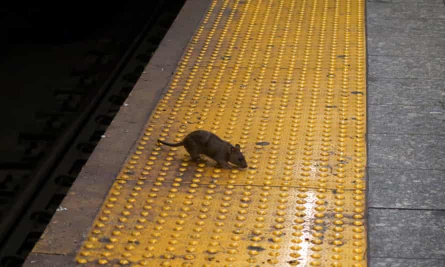 rat on new york subway