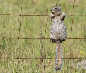 A ground squirrel seems to enjoy a warm afternoon from her perch on a farmer's fence along a country road near Elkton in rural western Oregon, US.