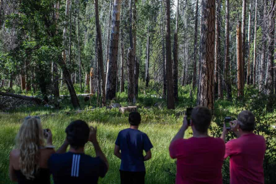 Visitors to Yosemite national park try to catch a glimpse of a bear on 6 July.