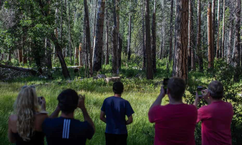 Visitors photographing a bear hidden in the woods in the Yosemite national park on 6 July 2020.