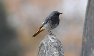 A male black redstart perches on a headstone at Ford Park Cemetery in Plymouth.
