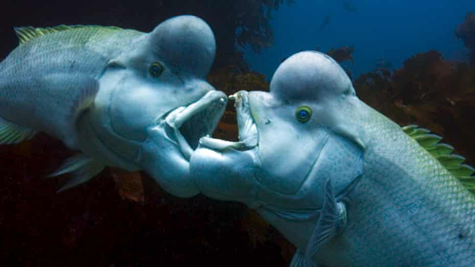 two male kobudai fighting in Blue Planet.