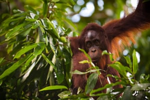 The main threat to the survival of orangutan populations in the wild is the massive expansion of palm oil plantations in Borneo and Sumatra.