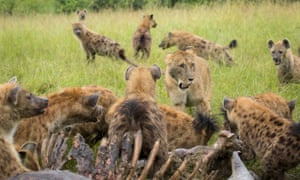 Hungry lions had to swallow their pride and share their meal with a pack of hyenas. The big cats were feasting on the carcass of a massive hippo, when the scavengers turned up wanting a piece of the action. The heavily outnumbered lions initially tried to fight them off, but were eventually humbled into sharing their dinner.