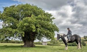 The Brimmon oak in Newtown, Powys.