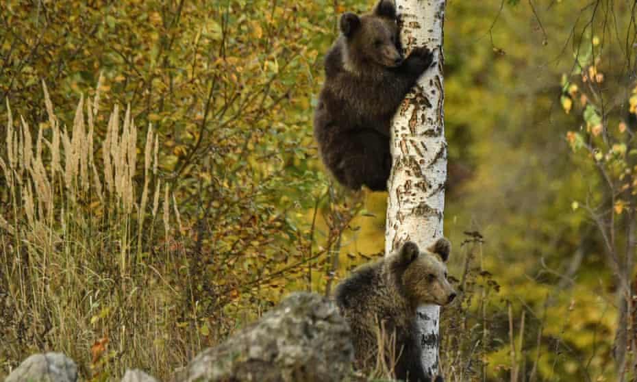 European brown bears climbing a tree